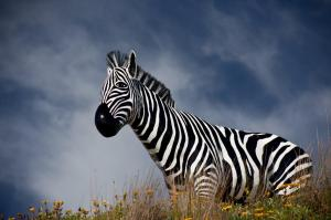 Sculpture By The Sea - Zebra